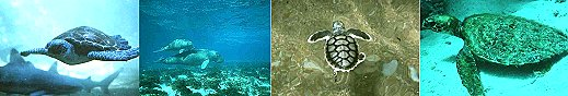 Green Turtle, Dugong & Calf, Flatback , Hawksbill. Photos courtesy of GBRMPA